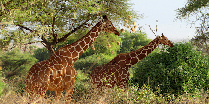 Resultado de imagen de samburu jirafa